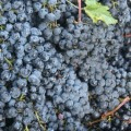 Making your own grape juice