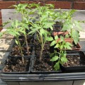 Seedlings to Transplant