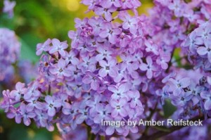 Lilac Explosion